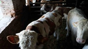 cattle_bulls_simmental_2