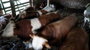 cattle_bulls_simmental_4